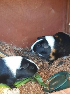 Guniea pigs for sale