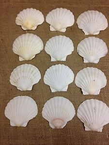12 x M Scallop shells - cleaned and boiled