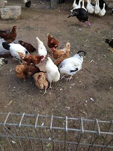 Mix poultry Austral Liverpool Area Preview