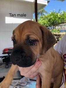 French Mastiff x Bull Mastiff x Great Dane Pups