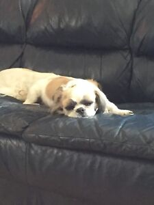 Lost Shih Tzu Dog.