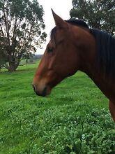 Quarter Horse x gelding for sale Boyup Brook Boyup Brook Area Preview