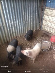 Piglets for sale Wilton Wollondilly Area Preview