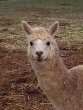 Huacaya Alpaca Clare Area Preview