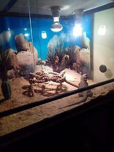 Reptile enclosure and bearded dragon Toowoomba Toowoomba City Preview