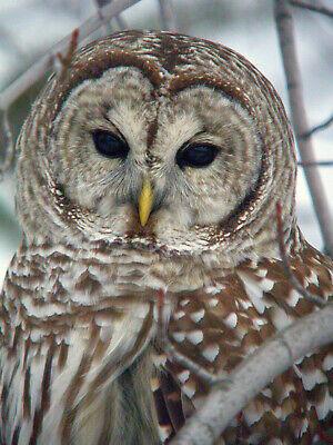 OWL - BIRD 8X10 GLOSSY PHOTO PICTURE IMAGE #10 - Owl Photo