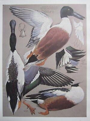 BEAUTIFUL TUNNICLIFFE BIRD PRINT ~ MALE SHOVELER