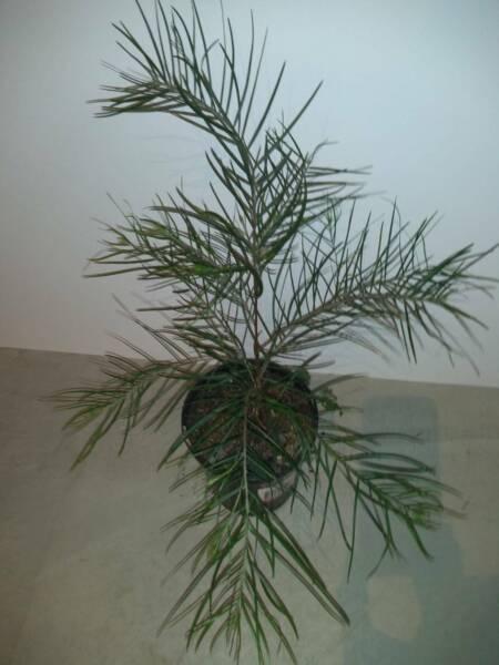 Acacia: Phlebophylla, Courtii, Obtusifolia, Maidenii