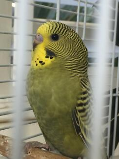 Baby budgie Woonona Wollongong Area Preview