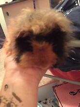 Pet Guinea Pig for sale Wanniassa Tuggeranong Preview