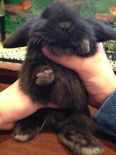 Rabbits (MINI LOP HOT PRICE) Greenacre Bankstown Area Preview