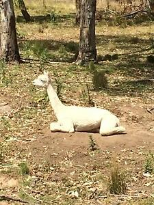 Alpaca male wether Thirroul Wollongong Area Preview
