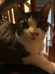 Urgent placement!!! Male cat - neutered, declawed, microchipped