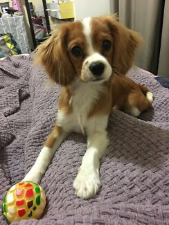 8 month old CAVOODLE - King Charles cavalier x poodle