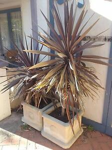 2 large pots with hardy plants 100 the lot Wembley Cambridge Area Preview