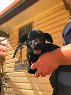 Purebred Kelpie pup for sale