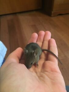 Free baby mice