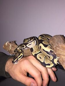 Ball Python with stand , terrarium and accessories