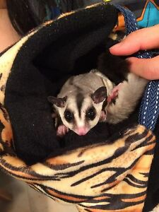 Sugar Gliders For Sale (Cages Included)