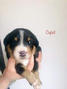 CKC Registered Greater Swiss Mountain Dog Puppies