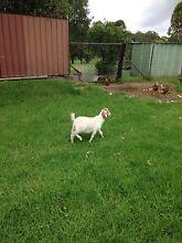 Goats Blacktown Blacktown Area Preview