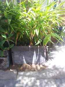 Bamboo Plants x 3 Tuart Hill Stirling Area Preview