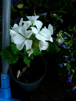 4 white geraniums and one pale pink geranium available @ $4 each