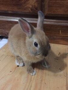 Dwarf bunny for sale in need for a forever home