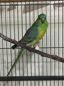 Beautiful young male Red rump parakeet