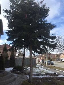 Free Spruce Trees - 2
