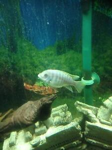 African cichlids for sale Glenmore Park Penrith Area Preview
