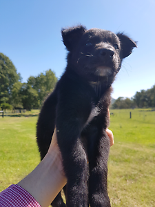 Beautiful Collie x Kelpie Pups for Sale. Grafton Clarence Valley Preview
