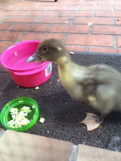 BABY DUCK FREE TO GOOD HOME Reedy Creek Gold Coast South Preview
