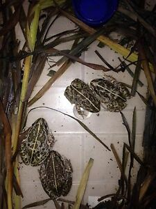 4 frogs Gawler Gawler Area Preview