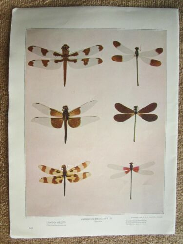 ANTIQUE 1904 AMERICAN DRAGONFLIES INSECTS LITHOGRAPH PRINT