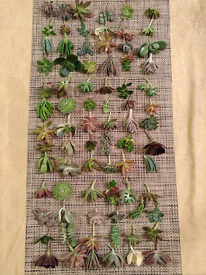 25 SUCCULENT CUTTINGS / 25 DIFFERENT VARIETALS! GREAT FOR WEDDING PARTY FAVORS!