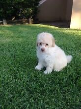 Toy Poodle  Purebred  Puppies Beerwah Caloundra Area Preview
