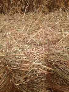 Horse hay 1st cut Timothy, orchard grass, with little alfalfa