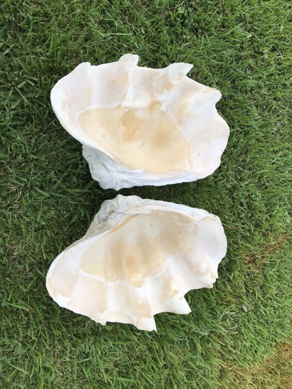 """Matching 29"""" Giant Clam Shell Tridacna Gigas"""