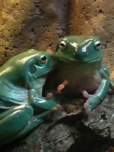 Green tree frogs and enclosure Coodanup Mandurah Area Preview