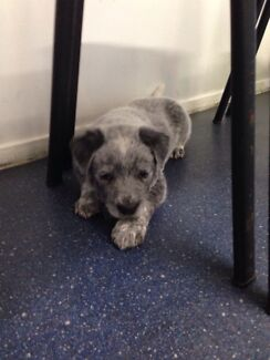 Red & Blue cattle dog puppies Bolton Point Lake Macquarie Area Preview