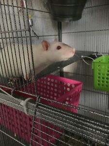 4 female rats looking for a good home