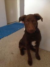 Border Collie x Kelpie puppy Hawker Belconnen Area Preview