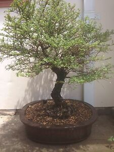 Bonsai Hokkaido elm Cabramatta West Fairfield Area Preview