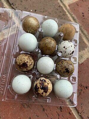 Six 6 Fertile Coturnix Quail Hatching Eggs Assorted Colors - Celadon Eggs