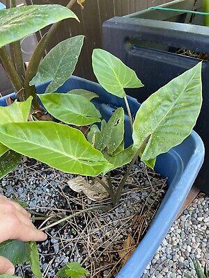 Alocasia brisbanensis brown Petiole
