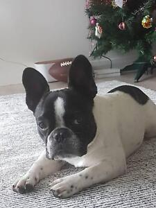 French bulldog 9 month puppy for sale