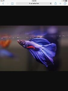 Looking for Betta fish
