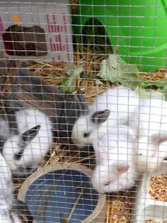 White lopped ear rabbits Green Point 2251 Gosford Area Preview