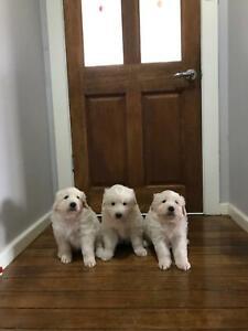 Maremma sheepdog pups